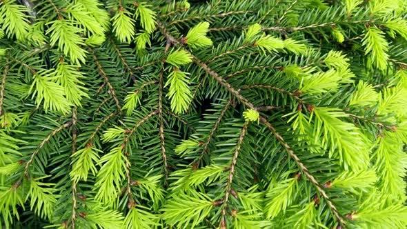 Thumbnail for die neuen jungen Tannenbaum Triebe wachsen im Frühling