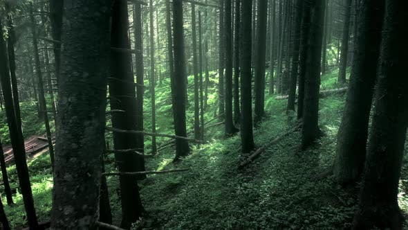 Magical Mountain Forest with the Trees Growing on Hills . Warm Sunbeams Illuminating the Trunks