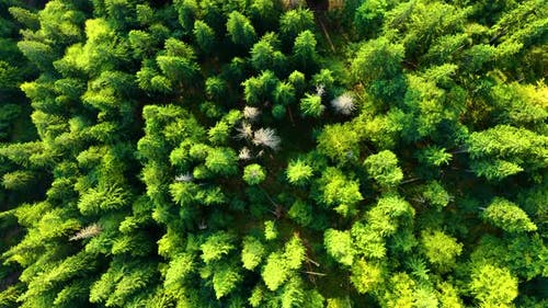 Fly over Trees. Camera moves rising up from green forest of dense tree tops of pine