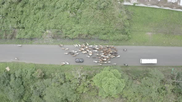 Thumbnail for Aerial horizontal view, following a group of cows that is being herded