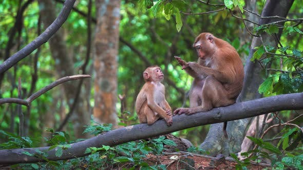 Thumbnail for Monkeys in A Rainforest Are Sitting on A Branch