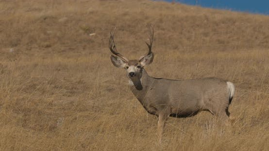 Thumbnail for Mule Deer Buck Male Adult Lone Standing Looking Around Watching in Autumn Large Trophy