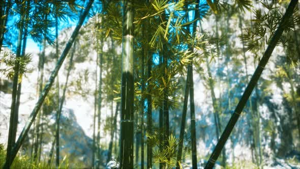 Asian Bamboo Forest with Sunlight