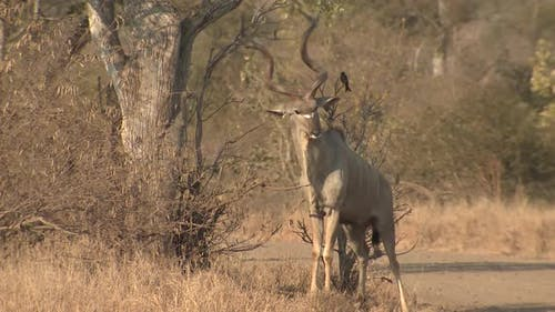Greater Kudu Buck Male Adult Lone Looking At Camera Dry Season Scent-marking