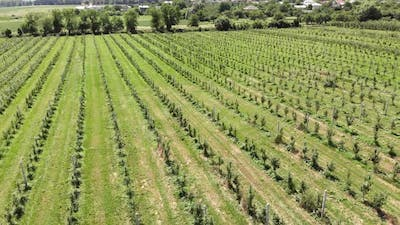 Aerial View on Top. Big Apple Plantation. The Cultivation of Apples. Panorama Apple Orchard Shooting