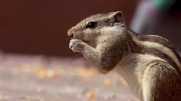 Thumbnail for Indian Palm Squirrel or Three-striped Palm Squirrel Funambulus Palmarum