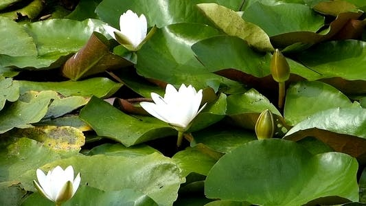 Thumbnail for Water Lily 2