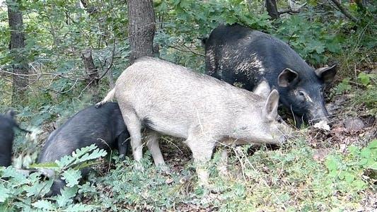 Thumbnail for Wild Pigs 1