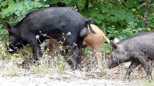 Thumbnail for Wild Pigs 2