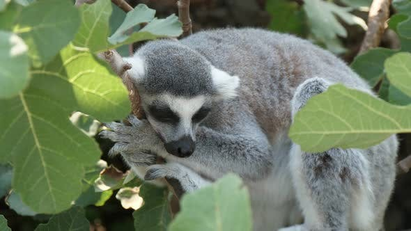 Thumbnail for Pleasant Lemur Holding a Twig and Sleeping in a Green Tree on a Sunny Day in Summer