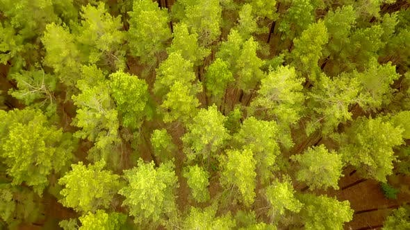 Thumbnail for Pine Forest From Above
