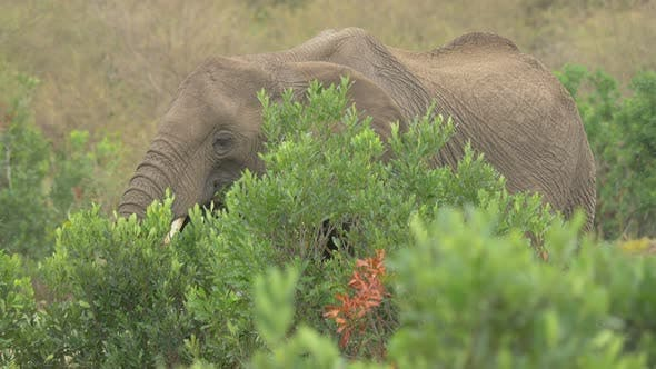 Thumbnail for African elephant eating behind a green bush