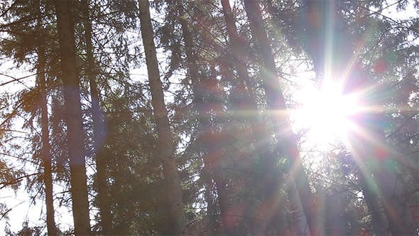 Dazzling Sunlight Through Pines