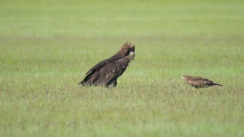 Cinereous Vulture and Hawk Side by Side