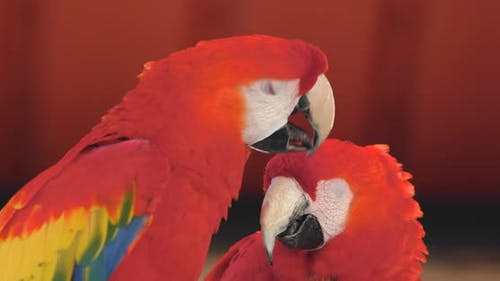 Pair of Red macaw