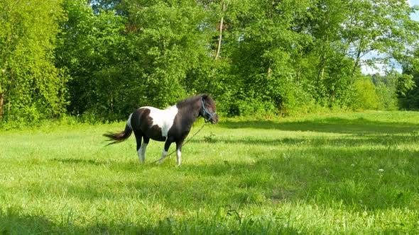 Thumbnail for Pony Grazing in a Meadow