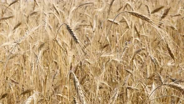 Thumbnail for Background of organic wheat golden fields  shallow DOF 2160p 30fps UltraHD footage - Ready for harve