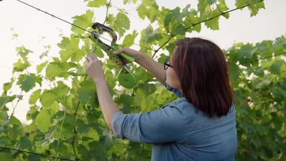 Woman Gardener Farmer Making Garter of Vine Bushes in Vineyard Using Professional Equipment