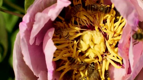 Honey bees flying bee collecting nectar of flower tree peony