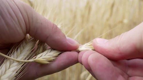 Landarbeiter Hände Check auf Reife oder Krankheit Gerste Ährchen oder Roggen