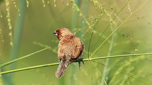 Cover Image for Scaly Breasted Munia Preening