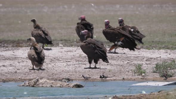 Thumbnail for Group of Lappet-faced vulture around a water hole