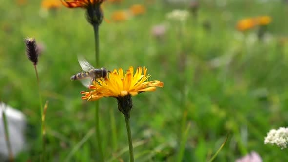 Thumbnail for Bee Collects Nectar From Flower Crepis Alpina