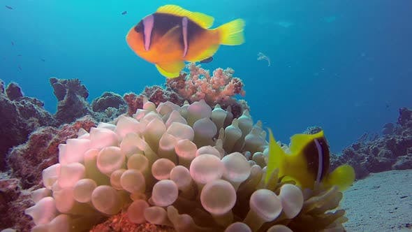 Thumbnail for Underwater Clownfish and Sea Anemone