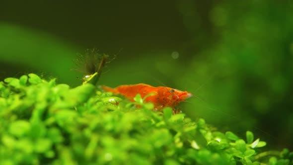 Thumbnail for Shrimp