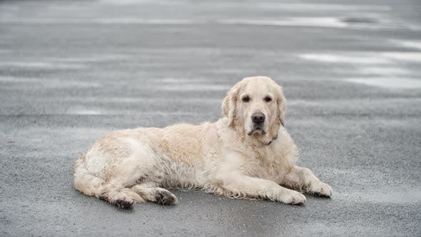 Cover Image for Resting Golden Retriever