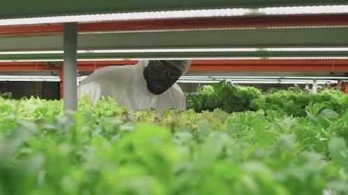 Agronomic Engineer Inspecting Lettuce Seedlings