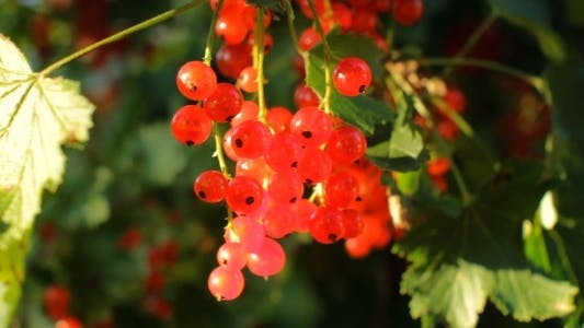 Thumbnail for Picking Harvest of Red Currant