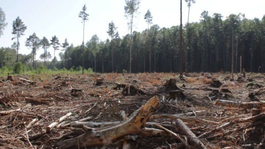 Thumbnail for Panorama of Devastated Forest