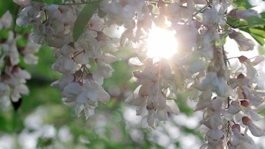 Thumbnail for Acacia Flowers In The Sunshine 2