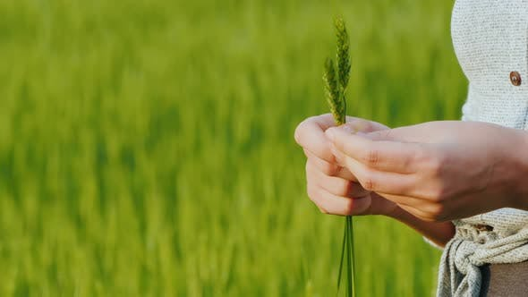 Thumbnail for Farmer's Hands with Spikelets of Green Wheat