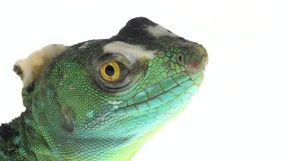 Thumbnail for Green Basilisks or Basiliscus Basiliscus on White Background