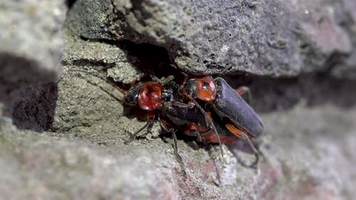 Mating Beetles Cantharis Rustica. Two Beetles Have Sex. Continuation of the Offspring. Macro.