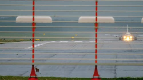 Hare on Runway of Dusseldorf Airport