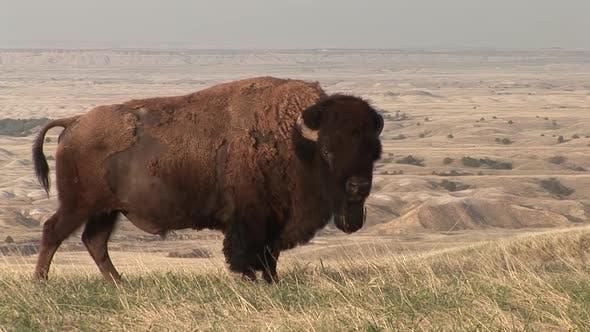 Bison Bull Adult Lone stehend im Frühjahr Haarschuppen im Winter im Sommer Mantel