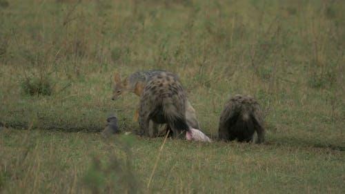 Hyenas and jackals in Maasai Mara