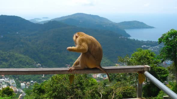 Cover Image for Macaque on Hill of Phuket
