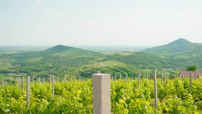 Green Grape Vineyards on the Hills