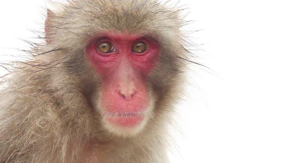 Thumbnail for Japanese Monkey In The Rain