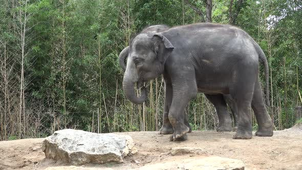 Thumbnail for Asian Elephant Adult Pair Elephants Playing Play Kicking