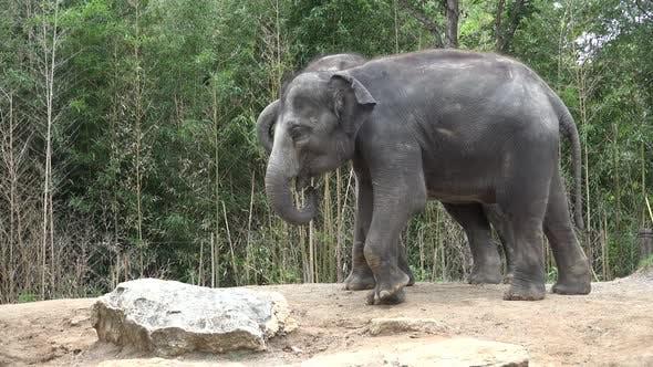 Asian Elephant Adult Pair Elephants Playing Play Kicking