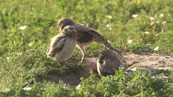 Thumbnail for Burrowing Owl Young Chicks Family Brood Stretching Wings in Summer Burrow