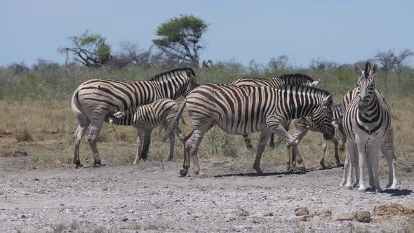 Thumbnail for Herd of zebras with their young on a dry savanna