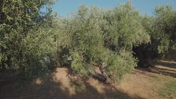 Thumbnail for Olivenbäume Anbau