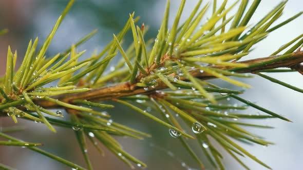 Pine and Rain Drops