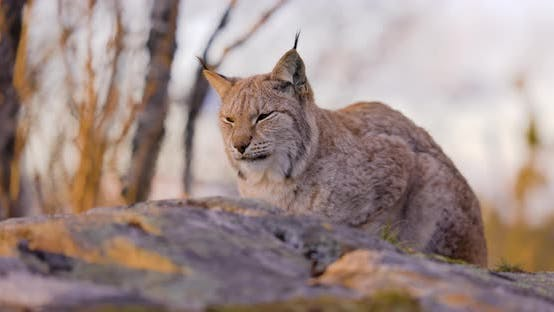 Eurasian Lynx Resting on a Rock in Forest Looking for Prey